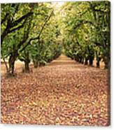 Orchard In The Morning Canvas Print