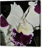 orchid 221 Cattleya Moscombe 'The King'  1 of 3 Canvas Print
