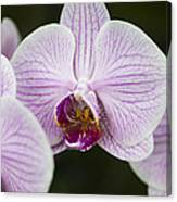 Orchid #4 Canvas Print