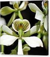 Orchid Encyclia Fragrans Canvas Print