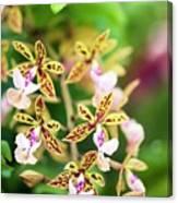 Orchid (epidendrum Stamfordianum) Canvas Print