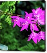 Orchid (laelia Gouldiana) Canvas Print