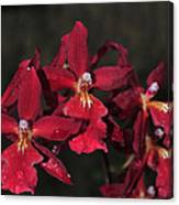 Orchid Red Burrageara Living Fire  Glowing Ember Canvas Print