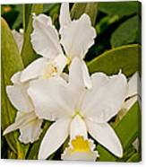 Orchid Sophronitis Canvas Print
