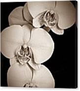 Orchid Trio Sepia Canvas Print
