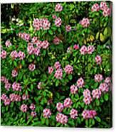 Oregon Azaleas Canvas Print
