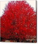 Oregon Red Maple Beauty Canvas Print