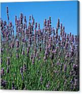 Organic Lavender Canvas Print
