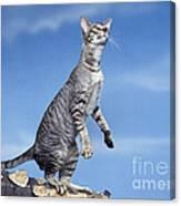 Oriental Cat Canvas Print