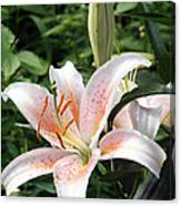 Oriental Hybrid Lily In White Peach And Pink  Canvas Print