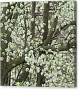 Oriental Pear Tree Canvas Print
