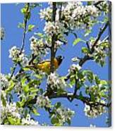 Oriole In A Pear Tree Canvas Print