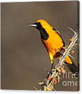 Oriole On Ocotillo Canvas Print