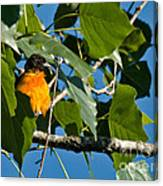 Oriole Watching Canvas Print