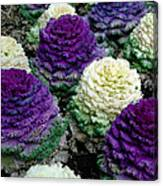 Ornamental Cabbage Canvas Print