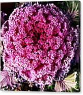 Ornamental Cabbage Plant Canvas Print