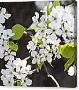 Ornamental Pear Blossoms No. 1 Canvas Print