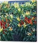 Ornamental Peppers...   # Canvas Print