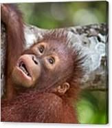 Orphan Baby Orangutan Canvas Print