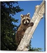 Orphaned Raccoon Canvas Print
