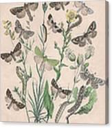 Orthosidae - Hadenidae Canvas Print