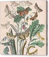 Orthosidae Canvas Print