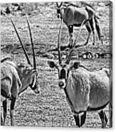 Oryx Black And White Canvas Print