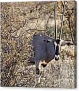Oryx Long Horned Antelope Canvas Print