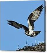 Osprey 9 Canvas Print