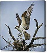 Osprey Building A New Nest Canvas Print