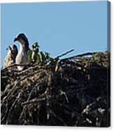 Osprey Chicks In Nest Canvas Print