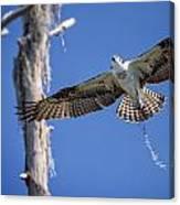 Osprey Fly By Canvas Print