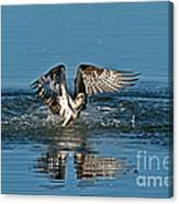 Osprey Getting Out Of The Water Canvas Print
