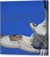 Osprey Grace And Beauty Canvas Print