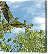Osprey In Flight Canvas Print