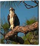Osprey In Pine 1 Canvas Print