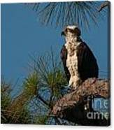Osprey In Pine 2 Canvas Print