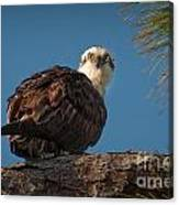 Osprey In Pine 3 Canvas Print