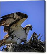 Osprey In The Nest Canvas Print