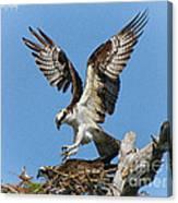 Osprey Mating Canvas Print