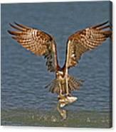 Osprey Morning Catch Canvas Print