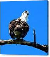 Osprey On A Branch Canvas Print