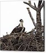 Osprey On A Nest In The Everglades Canvas Print