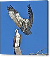 Osprey Pair Love In The Air Canvas Print