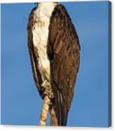 Osprey Perched In Yellowstone National Park Canvas Print