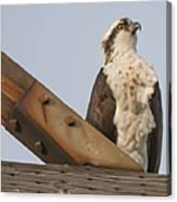 Osprey -seahawk Canvas Print