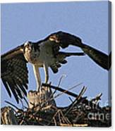 Osprey Warning Canvas Print