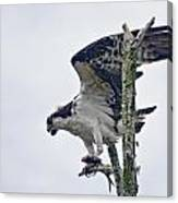 Osprey With Fish 4 Canvas Print