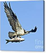 Osprey With Mullet Canvas Print