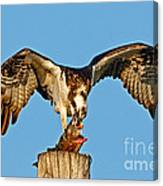 Osprey With Spotted Bass Canvas Print